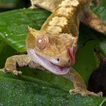 soin du gecko crete