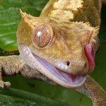 gecko à crête conseils