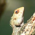 conseils gecko à crête