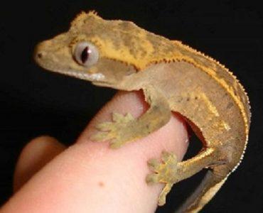 elevage gecko à crete