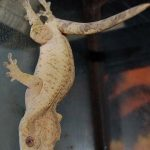 maladie gecko à crête