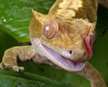 gecko à crete