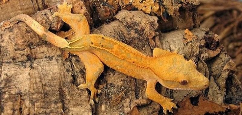 3 raisons d'adopter un gecko à crête