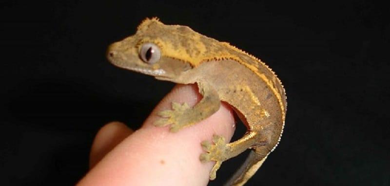 comment elever un gecko