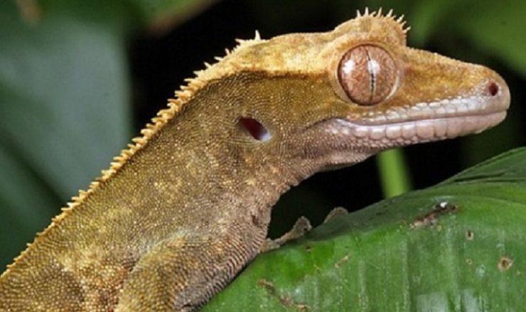problème santé gecko à crete