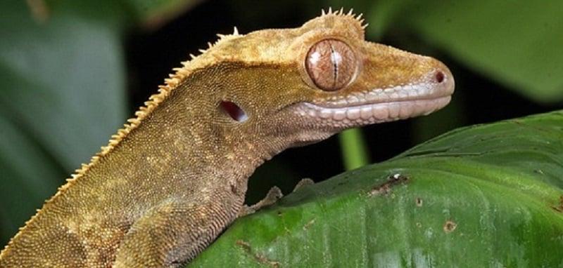 Problèmes de santé courants chez le gecko à crête