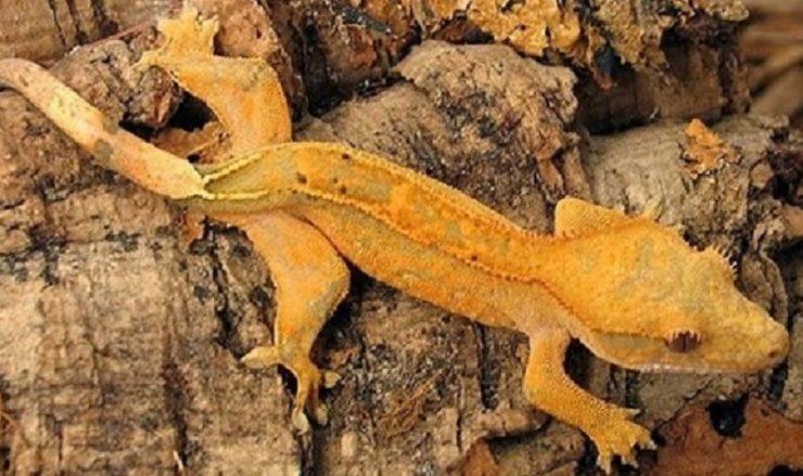 gecko crete