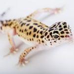 gecko leopard 265x210