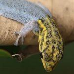 geckos faciles à élever