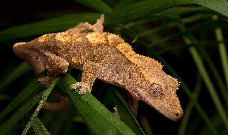 santé du gecko à crete