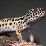 espèces de geckos faciles à élever