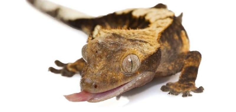 La santé du gecko à crête