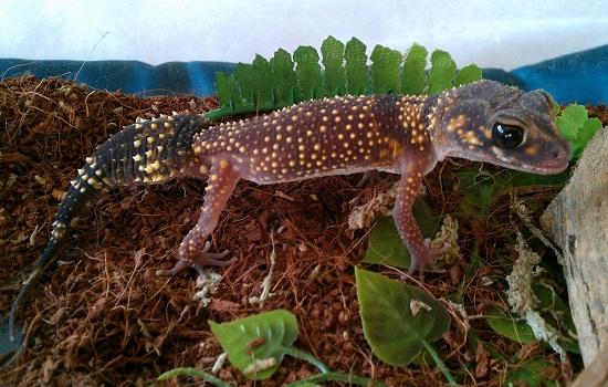 gecko babillard