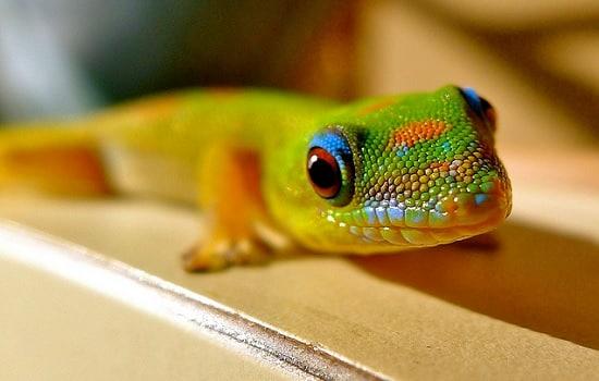 gecko diurne