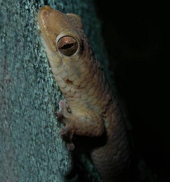 gecko écaille de poisson