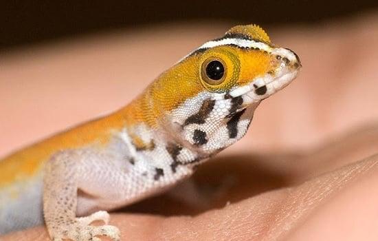 gecko Gonatodes vittatus