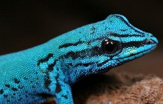 gecko nain de William