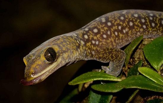 gecko Oedura tryoni