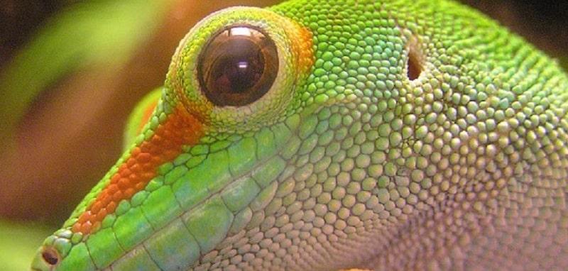Faits intéressants sur le gecko