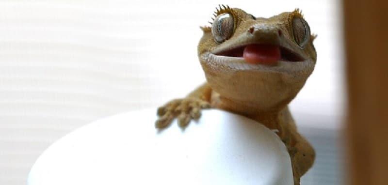 5 faits amusants sur le gecko à crête