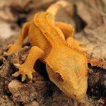 raisons d'adopter un gecko à crête