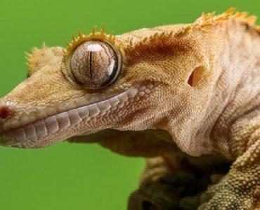 prendre soin du gecko à crete