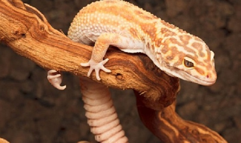 défenses naturelles du gecko
