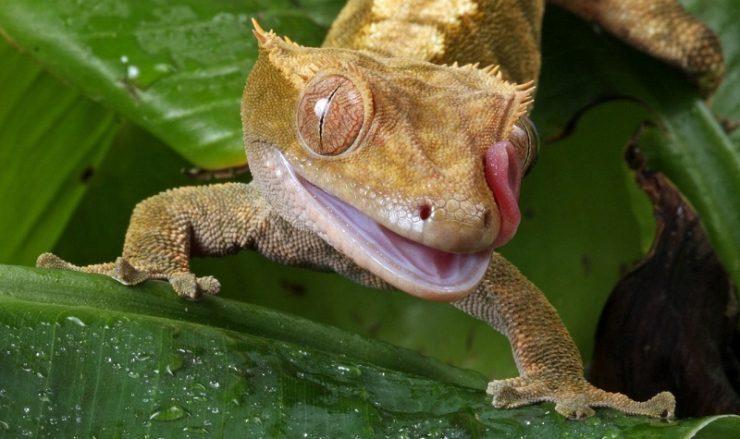 faits gecko à crete