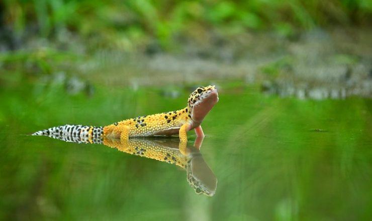 gecko leopard carrot tail