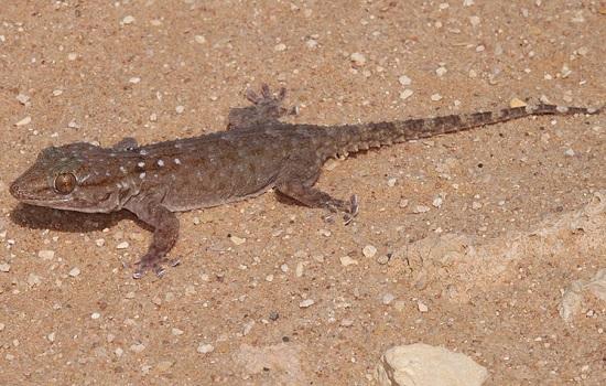 tarente de Mauritanie