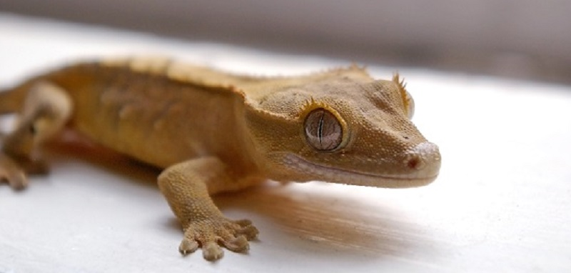 Questions/Réponses : gecko à crête