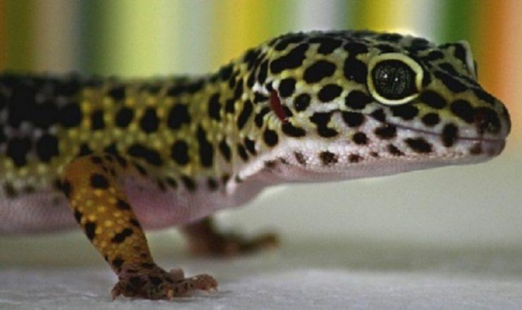 un gecko leopard