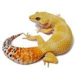 gecko léopard carrot tail