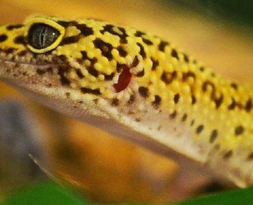 comportement gecko leopard