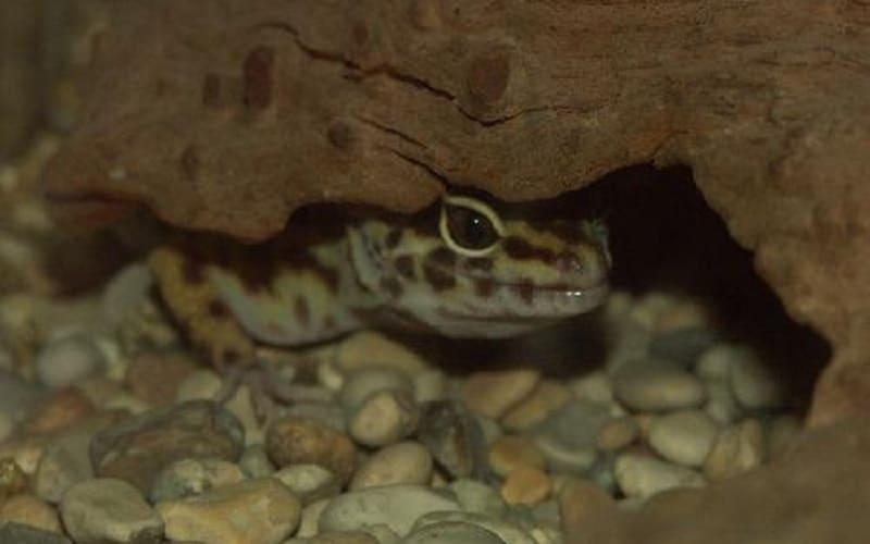 comportement gecko léopard