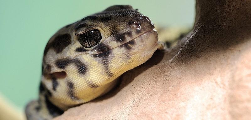 Informations de base sur le gecko léopard