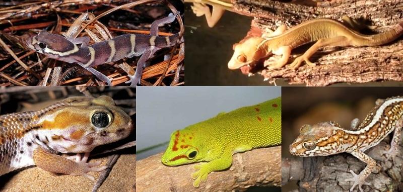 geckos extraordinaires à élever