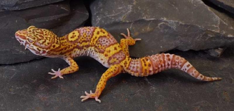 gecko léopard bell albinos