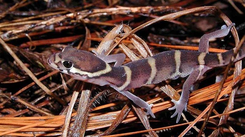 gecko surprenant