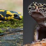 Gecko et salamandre