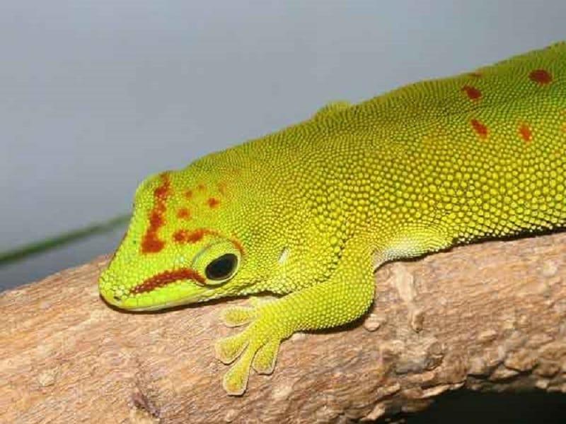 gecko extraordinaire