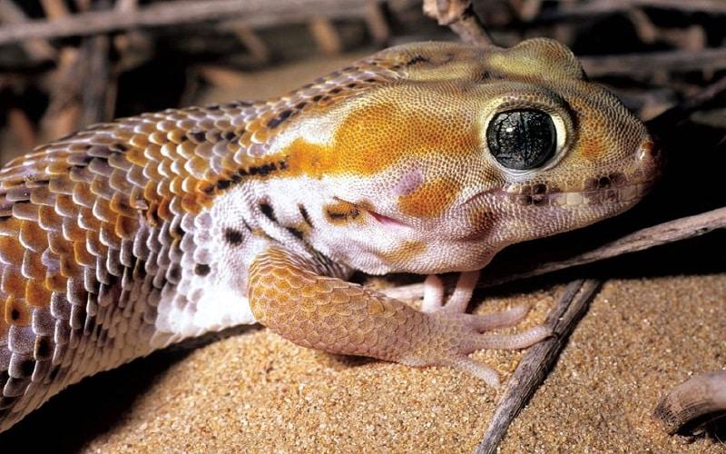 geckos à élever