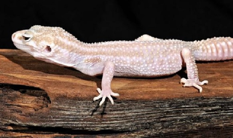 gecko leopard albinos