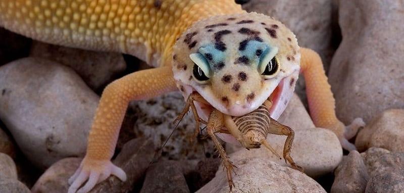 nourrir un gecko leopard