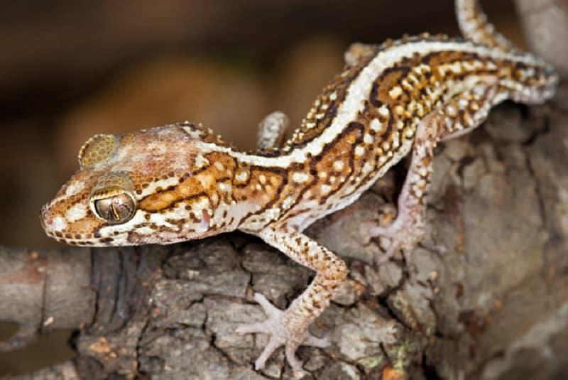 superbe gecko