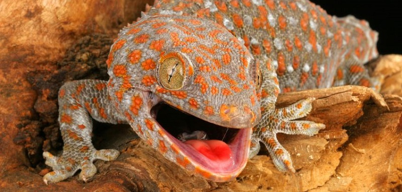 morsure du gecko