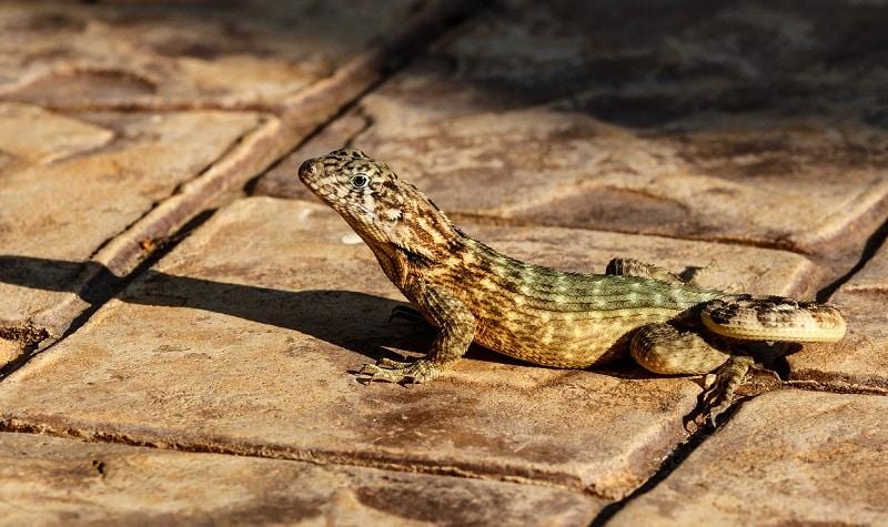 informations gecko