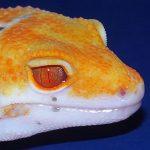 gecko léoprad albinos