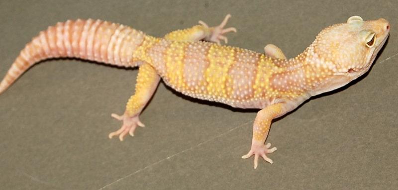 gecko léopard rainwater albinos