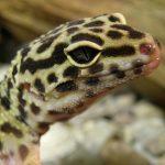 s'amuser avec un gecko léopard